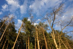 Lookup the pine forest and blue sky in summer.