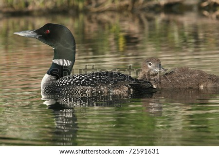 Loon chick (Gavia immer) Swimming with Parent in Late August - Haliburton Highlands, Ontario, Canada