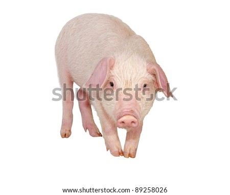 Lop-eared pig breeds Landrace (Wales) Isolated - stock photo