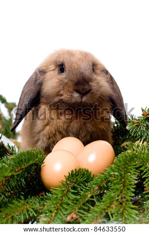 Lop-eared rabbit sitting near three eggs in branches of fir-tree