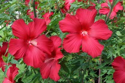 Lord Baltimore hardy hibiscus (Hibiscus 'Lord Baltimore')