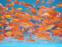 Lot of Goldfish in Aquarium Tank Against Blue Background
