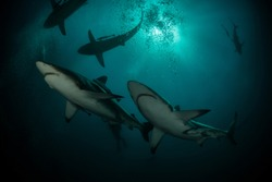 Lot of hungry and dangerous sharks swim for food question on blue ocean background with sun on back plan.