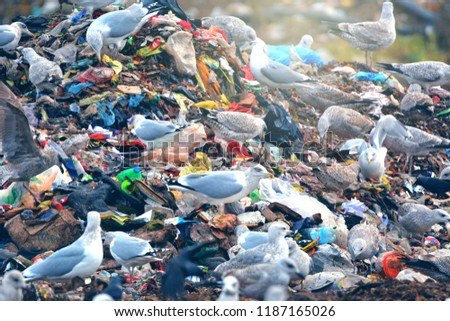 lot of many sea gulls and jackdaw  in city garbage dump search and catching food