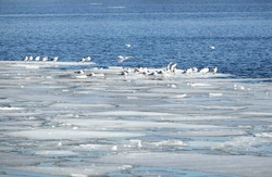 Lot of  wild seagulls sit on an ice floes floating in cold blue open water in bright sunny spring day horizontal view