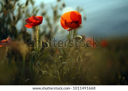Lot of wonderful red poppies (Papaver) at sunset.