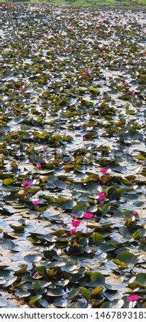 lotous in pond naturally awesome