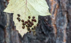 Lots and lots of ladybugs. Coccinellidae on the yellow leaf of the plant. with the onset of cold weather, ladybugs gather under the fallen leaves of trees and wait for the arrival of spring