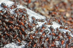 Lots of ants in an anthill. In total chaos, ants run in an anthill.