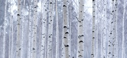 lots of birch trees