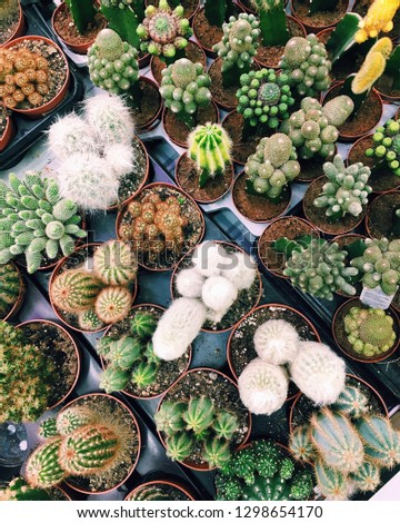 Lots of cactuses