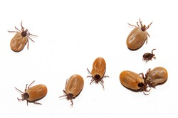 Lots of Castor bean ticks, big and small, on a white background