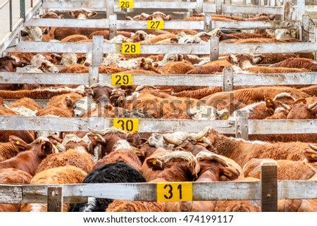 Lots of cattle heaped up in a corral in the Mercado de Liniers, Argentina