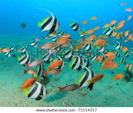 Lots of Colourful Tropical Fish: Schooling Bannerfish and Lyretail Anthias Fish