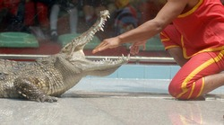 Lots of crocodiles both fresh - and saltwater. the performer put his hand into crocodilian's mouth