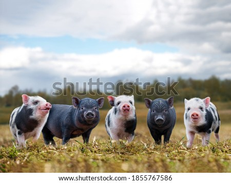 Lots of cute piglets on the walk. Funny animals, portrait Photo stock ©