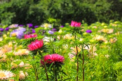 Lots of different blooming chrysanthemums of different colors in the autumn garden. Purple, pink, yellow flowers in the bed in a botanical garden, park. Beautiful floral natural wallpaper. Fall season