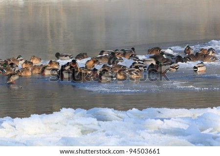 lots of ducks in a half frozen river