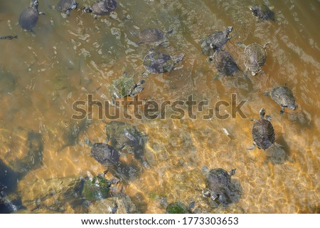 lots of freshwater turtles in the Australian river