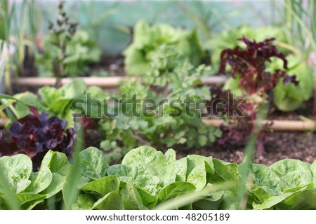 Lots of green leafy vegetables cultivated in a raised bed