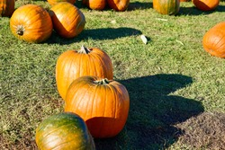 Lots of large orange pumpkins of different sizes are scattered on the green lawn, autumn, harvest, halloween, Quebec, Canada
