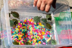 Lots of little red-eared turtles in a plastic aquarium. Breeding of domestic turtles.