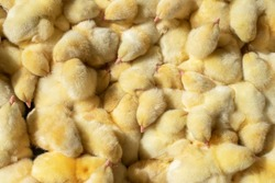Lots of little yellow newborn Chicks. The view from the top. Agro.