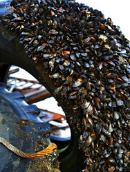 lots of mussels on the old black wheel