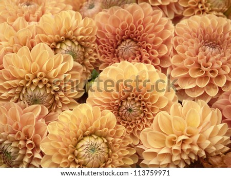 lots of orange Dahlia flowers