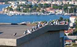 Lots of pigeons are standing on the roof a house with an excellent sea and city view. Birds are enjoying the freedom over the roof of a house with fantastic bay view.