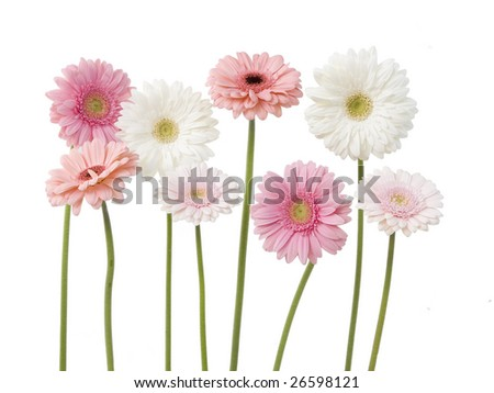 lots of pink gerber daisies with stems isolated on white