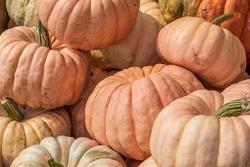 Lots of pumpkins all around at open air market vivid colors.