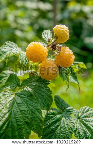 Lots of red ripe yellow raspberries on a bush. Close up of fresh organic berries with green leaves on yellow raspberry cane. Summer garden in village. Growing berries harvest at farm.
