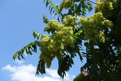Lots of seeds in the leafage of Ailanthus altissima against blue sky in July