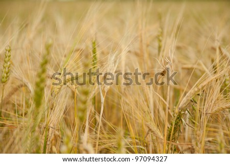 lots of wheat on the field during summer season