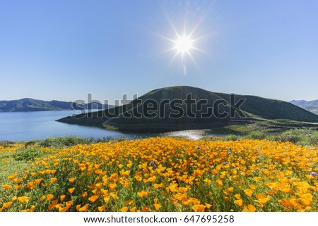 Lots of wild flower blossom (poppy) at Diamond Valley Lake, California