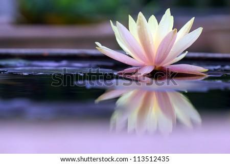 stock photo lotus 113512435 - Каталог — Фотообои «Цветы»