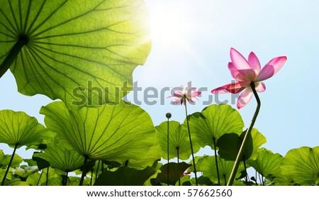 Lotus against blue sky. #57662560