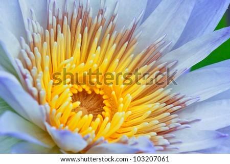 Lotus as close-up