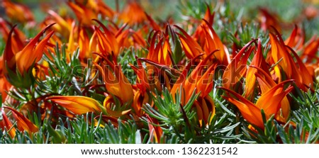 Lotus berthelotii (Parrot's beak,Pelican beak,Coral gem,Lotus vine flower) is a perennial plant endemic to the Canary Islands.Exotic tropical floral background.Selective focus.