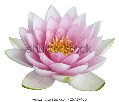 stock photo Lotus flower