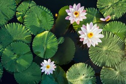 Lotus Flower and leaf in pond water surface Top view outdoor sunlight