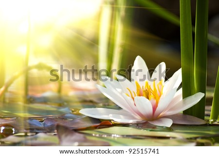 stock photo lotus flower background 92515741 - Каталог — Фотообои «Цветы»