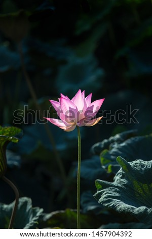 Lotus Flower.Background is the lotus leaf and lotus bud and lotus flower and tree.Shooting location is Yokohama, Kanagawa Prefecture Japan.