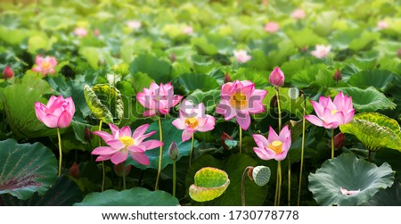 Lotus flower background texture backdrop pattern wallpaper image, beautiful lotus flower and lotus flower plants, symbol of VietNam.