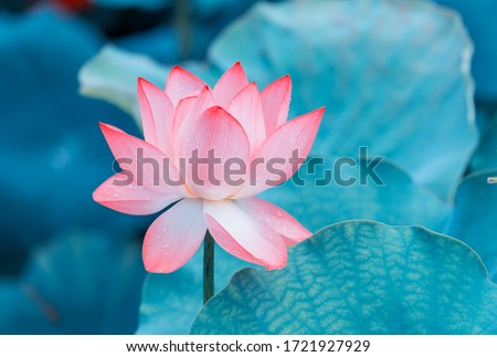 lotus flower blooming in summer pond with green leaves as background Сток-фото ©