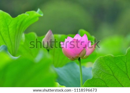 Lotus flower blooming quietly best time to see