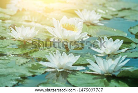 Lotus flower blooms against the backdrop of unblown lotus in a pond of blooming white lotus flowers.