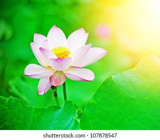 Stock Photo: lotus flower blossom in the sunrise