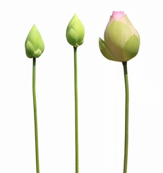 lotus flower buds isolated on white background